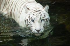 White Tiger. Rare White Bengal Tiger swimming at the Singapore Zoo Royalty Free Stock Photo