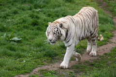 White tiger Stock Photo