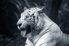 White tiger. The white tiger yawns. Safari - park. Bali. Indonesia Royalty Free Stock Images