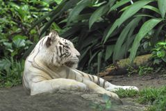White Tiger. A white tiger resting inside a zoo Royalty Free Stock Images