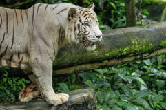 White Tiger. A white tiger resting inside a zoo Royalty Free Stock Image