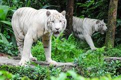 White Tiger. A Pair Of White Tiger In The Zoo Stock Photo