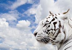 White tiger. On a background of the blue sky with clouds Stock Photography