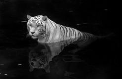 White tiger Royalty Free Stock Image