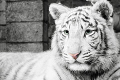 White tiger Royalty Free Stock Images