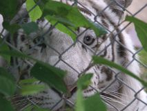 White tiger. Captive tiger stares with great sadness Royalty Free Stock Photo