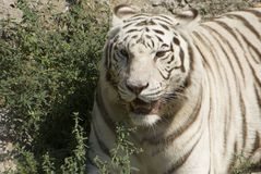 White tiger 2 Royalty Free Stock Photos