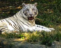 White Tiger 2. Rare endangered East Asia White tiger reacting to observer noise Stock Images