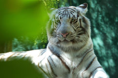 White Tiger 2 Royalty Free Stock Image