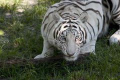 White Tiger. A large white tiger ready to attack Stock Photo