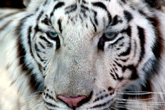 White tiger. A portrait of a white tiger Stock Photos