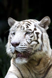 White Tiger. A white tiger looking into the future of forlorn hope Stock Photo