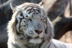 The white tiger. Stock Photos