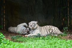White tiger. Female and male white bengal tiger Stock Photos