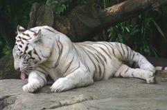 White tiger royalty free stock photos