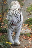 White tiger. The strolling white tiger on the fallen leaves Stock Images