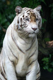 White Tiger. A fully grown white tiger at rest Royalty Free Stock Images