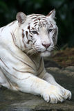 White Tiger. A fully grown white tiger at rest Stock Photography
