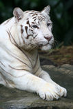 White Tiger. A fully grown white tiger at rest Royalty Free Stock Photo