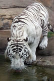 White tiger. Portrait of a white tiger in a zoo royalty free stock photo