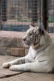 White tiger Royalty Free Stock Photography