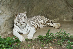 White tiger. In the zoo Royalty Free Stock Photos