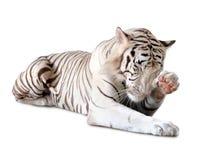 White tiger Stock Photo