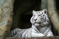 White Tiger. (albinos) - King of Woods Stock Photos