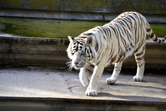 White tiger. White Bengal Tiger in a close up view portrait Stock Photography
