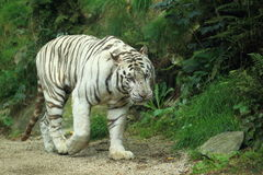 White tiger. The strolling white tiger in the soil Stock Images