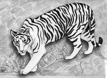 White tiger. Rare white tiger on the rocky path. Pencil drawing, sketch Royalty Free Stock Photo
