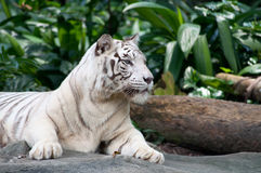 White Tiger. Male White Tiger display at Singapore Zoological Gardens Stock Photography