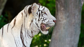 White Tiger. Stare with their curiosity. 16:9 Royalty Free Stock Photos