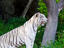 White Tiger. Stare with their curiosity Royalty Free Stock Photo