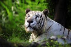 White tiger. The white tiger yawns. Safari - park. Bali. Indonesia Royalty Free Stock Photography