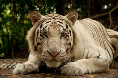 White tiger. Sight of the white tiger royalty free stock photo
