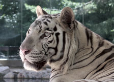 White tiger. Detail view of white tiger in zoo park royalty free stock photo