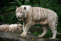 White tiger. At the Singapore Zoo Royalty Free Stock Photo