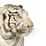 White Tiger  (3 years) Stock Image
