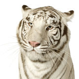 White Tiger  (3 years) Stock Images