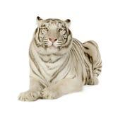 White Tiger  (3 years) Royalty Free Stock Image