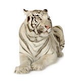 White Tiger (3 years) royalty free stock image