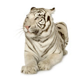 White Tiger  (3 years) Royalty Free Stock Photo