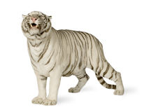 White Tiger (3 years) royalty free stock images