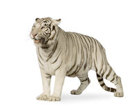 White Tiger  (3 years) Stock Photos