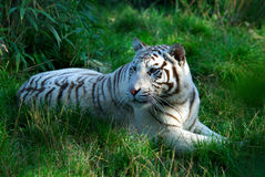 White Tiger. Laying in the grass Stock Photos