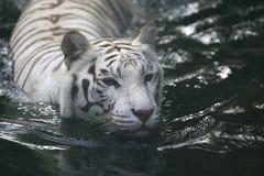 White Tiger. A white Tiger taking a swim Stock Images