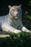 White Tiger. A white Tiger sitting and relaxing Stock Photos