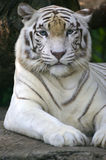 White Tiger. A White Tiger at rest Stock Photography