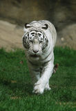 White Tiger. A white tiger (Panthera tigris tigris) at Moscow Zoo in Russia. Indian people think that a meeting with a white tigers brings a good luck and succes Stock Photos